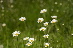 Nature background with blossoming daisy flowers close up in sunny day. royalty free stock photography