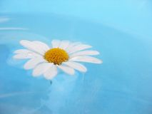 White Daisy on Blue Background. Illustration of one white daisy with petals completely open on a pretty blue background Royalty Free Stock Photo