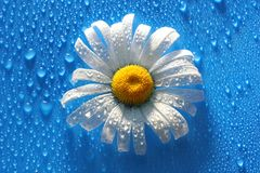 White Daisy on blue background water drops, summer colors. For the design royalty free stock images