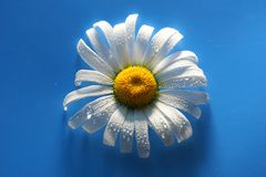 White Daisy on blue background water drops, summer colors. For the design royalty free stock photography