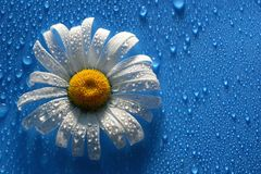 White Daisy on blue background water drops, summer colors. For the design stock images