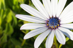 White Daisy blue stamen macro. Soprano White Daisy with blue stamen against soft focus green plants Stock Photography