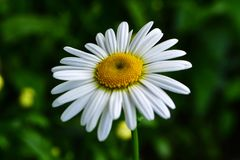 White daisy. Bright white daisy with a yellow heart on a blurred green background Royalty Free Stock Image
