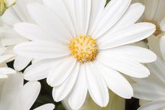 White Daisy Bushes Close Up Royalty Free Stock Photography