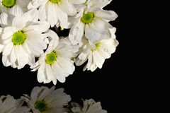 White daisy chrysanthemums on black Royalty Free Stock Photo