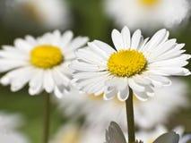 White daisy close-up Royalty Free Stock Photography