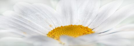 White daisy close up  Royalty Free Stock Image