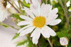 White Daisy close up. Background Stock Images