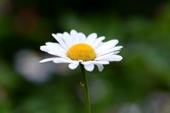 White daisy close-up. Blooming bright white daisy close-up Royalty Free Stock Photo