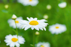 White daisy close up. With blurred background Royalty Free Stock Photo