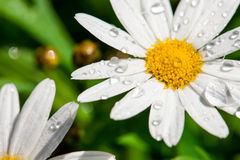 White daisy close-up and dew.  Stock Images
