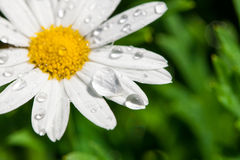 White daisy close-up and dew Stock Photography