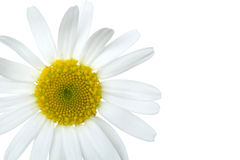 White daisy Stock Photography