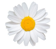 White daisy close-up isolated on white background. Object with clipping path Stock Photography