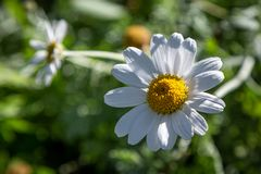 A White Daisy. A close up of a pretty white daisy flower with a shallow depth of field royalty free stock photo