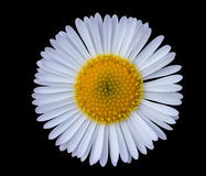 White daisy. Close up of small white daisy in black background Royalty Free Stock Images