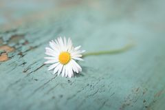 White daisy close up. On the wooden table Royalty Free Stock Photo