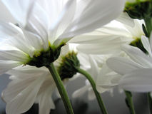 White daisy closeup Royalty Free Stock Images