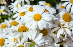 White daisy decorative Royalty Free Stock Photography