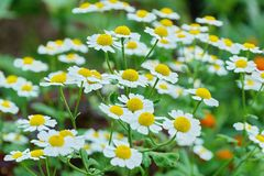 White Daisy decorative in the garden close-up. Of fresh blooming stock images