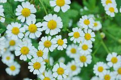 White Daisy decorative in the garden close-up. Of fresh blooming royalty free stock photography