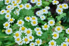 White Daisy decorative in the garden close-up. Of fresh blooming royalty free stock image