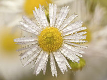 White daisy dew Stock Images