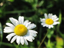White Daisy. With droplets of morning dew royalty free stock photo