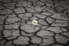 White daisy in dry and cracked soil Stock Photos