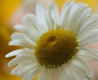 White daisy evening sunset Stock Photography