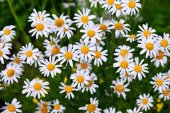 White daisy family herbal flowers Royalty Free Stock Image