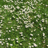 White Daisy field Royalty Free Stock Photos