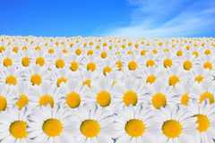 White daisy field Stock Images