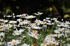 White daisy field Royalty Free Stock Photography
