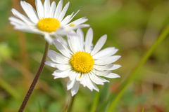 White daisy field Stock Image