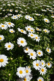 White daisy. In the field in sunny day Stock Images