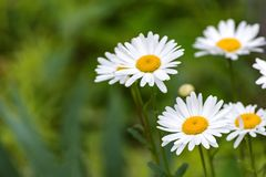 White daisy on field Royalty Free Stock Image