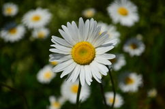 White Daisy in a field of wild daisies Stock Photography