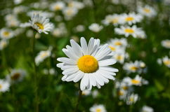 White Daisy in a field of wild daisies Royalty Free Stock Image