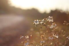 White Daisy Fleabane Close Up Photography Royalty Free Stock Photo