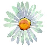 White daisy floral botanical flower. Watercolor background illustration set. Isolated daisy illustration element. royalty free illustration