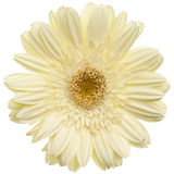 White daisy flower. Isolated on white background stock images