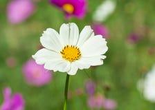 White daisy flower Royalty Free Stock Photos