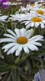 White daisy. Flower Royalty Free Stock Photography