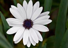 White daisy flower Royalty Free Stock Photo