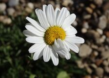 White daisy flower Royalty Free Stock Photos