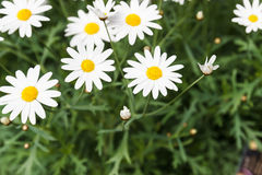 White daisy flower for background Royalty Free Stock Photography