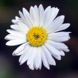 White daisy. Stock Photography