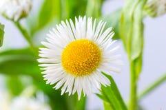 A white daisy flower Bellis perennis.  royalty free stock photos