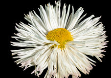 White daisy. Flower on a black background Royalty Free Stock Photo